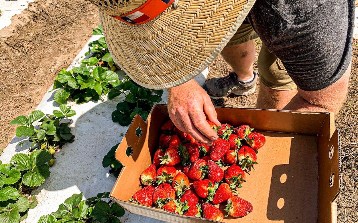 Strawberries being picked at Sweet Eats Fruit Farm in Georgetown.