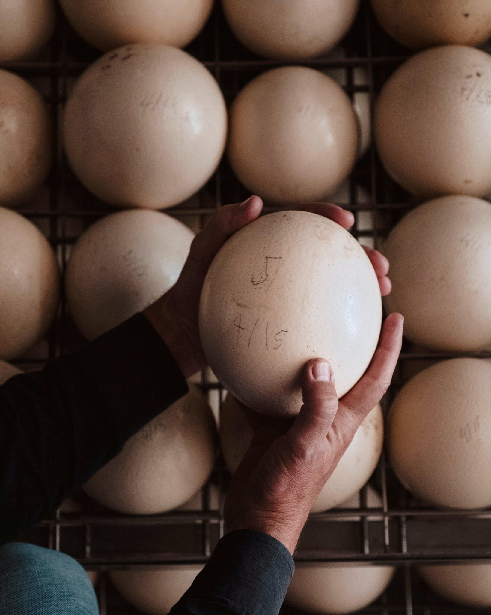 Boyd checking ostrich eggs before they go into the incubator.