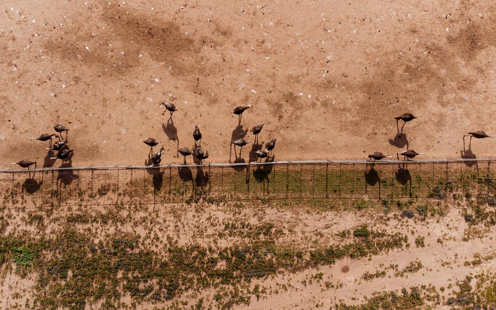 An overhead view of hens at Clark Ostrich Farm in April 2021.
