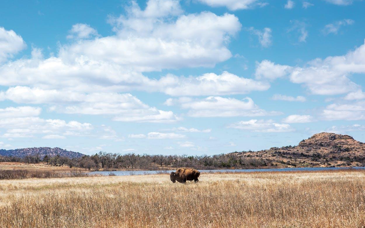 A bison at the refuge on March 25, 2021.