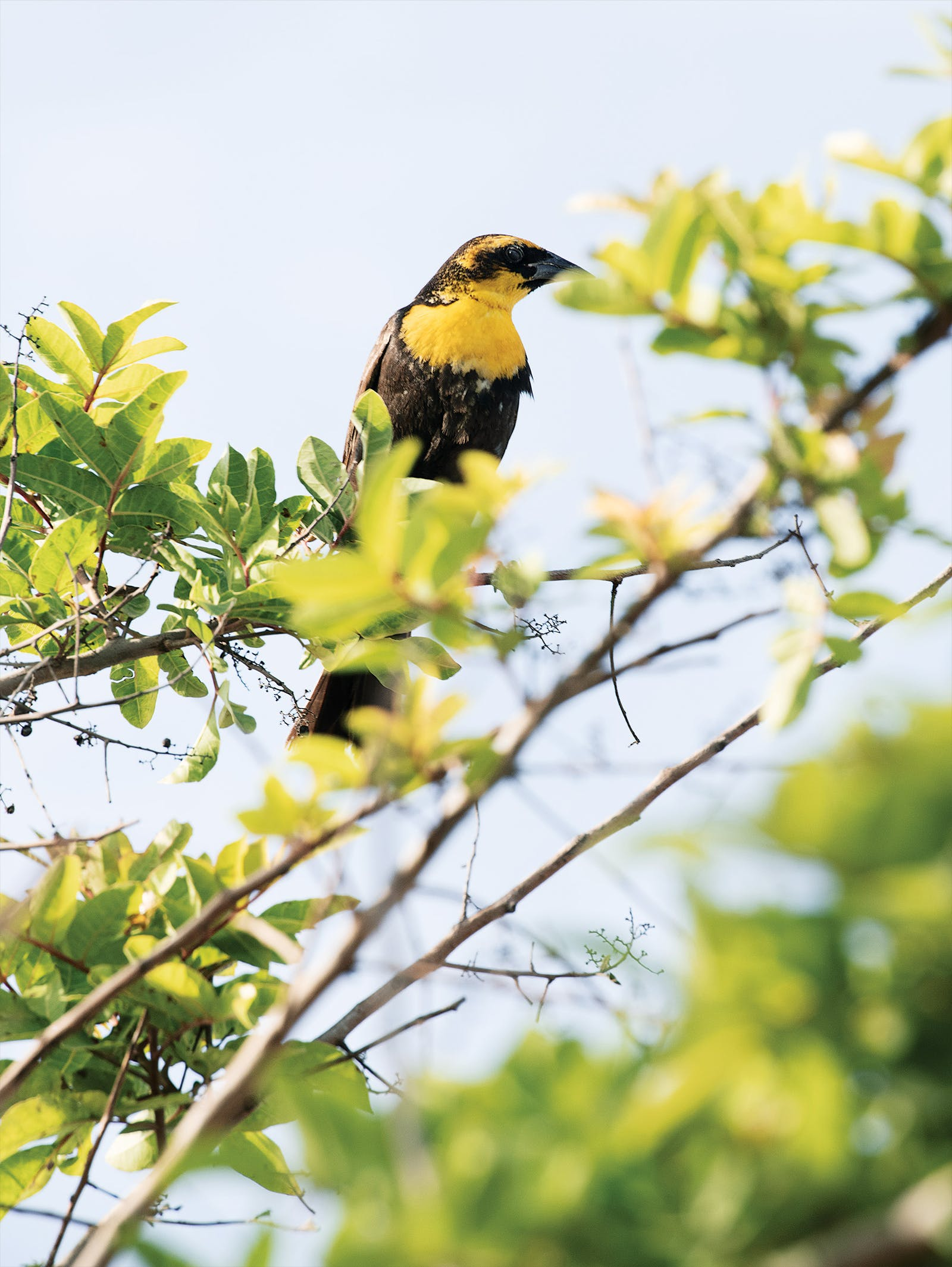 A yellow-headed blackbird spotted in Boca Chica.
