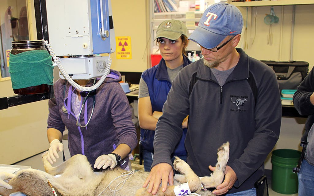 Red wolf Pip is positioned by Jason Ahistus for a radiograph at Fossil Rim Wildlife Center.