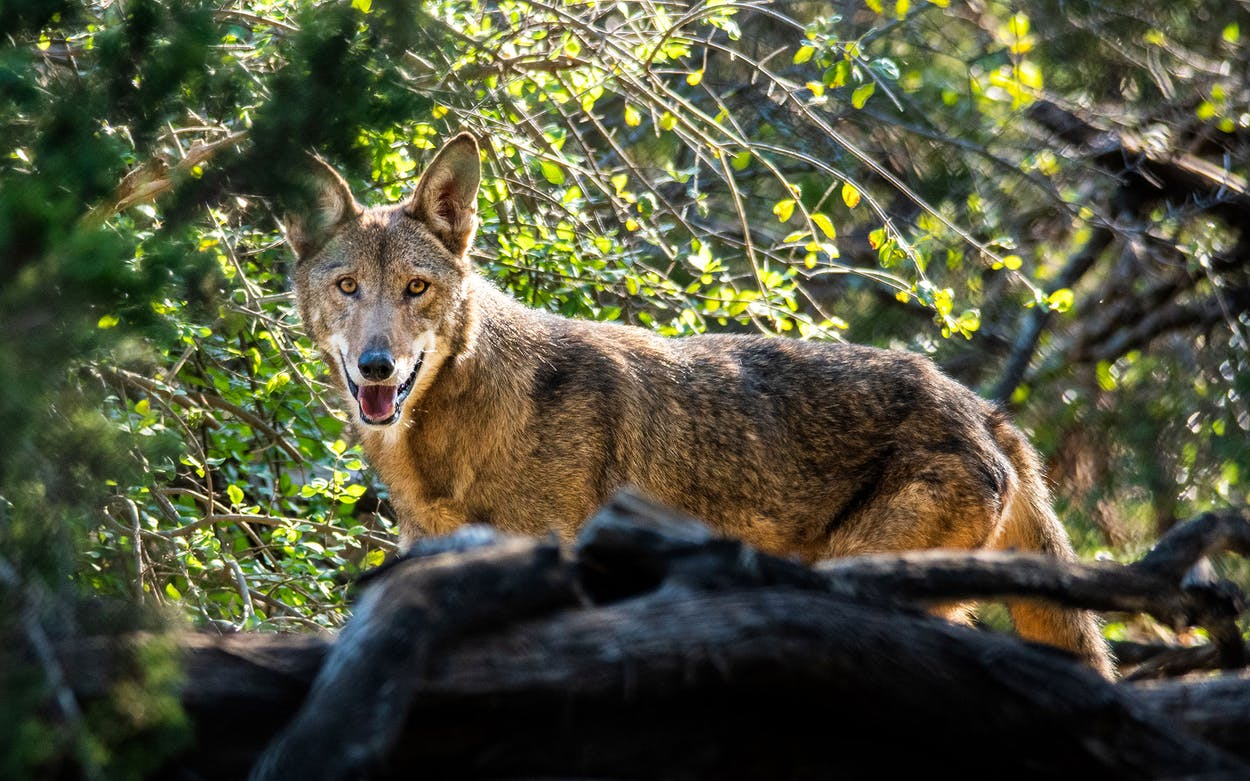 An American red wolf at Fossil Rim Wildlife Center.