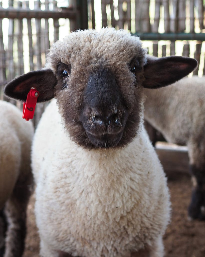 Rocksprings sheep