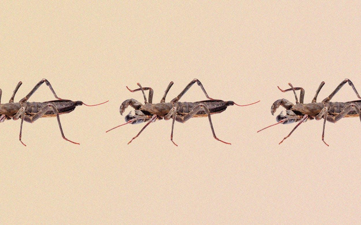 vinegaroon west texas acid shooting bugs