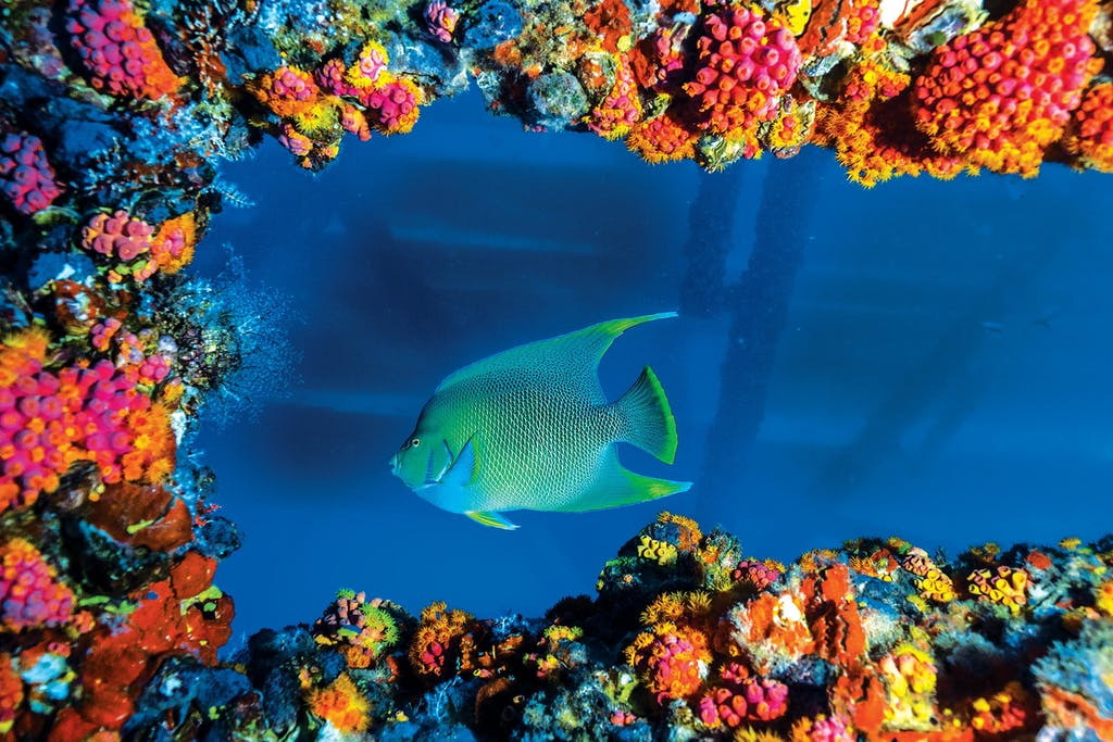 A blue angelfish framed by orange cup coral, which thrives on structures such as oil platforms and shipwrecks.
