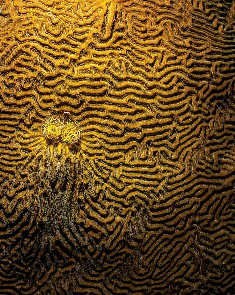 Symmetrical brain coral bedecked with a Christmas tree worm.