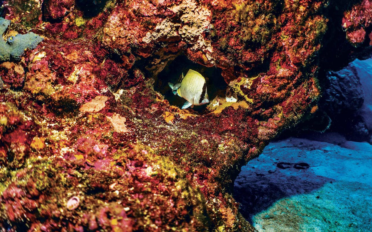 A reef butterfly fish tucked into a crevice in Flower Garden Banks National Marine Sanctuary on June 14, 2021.