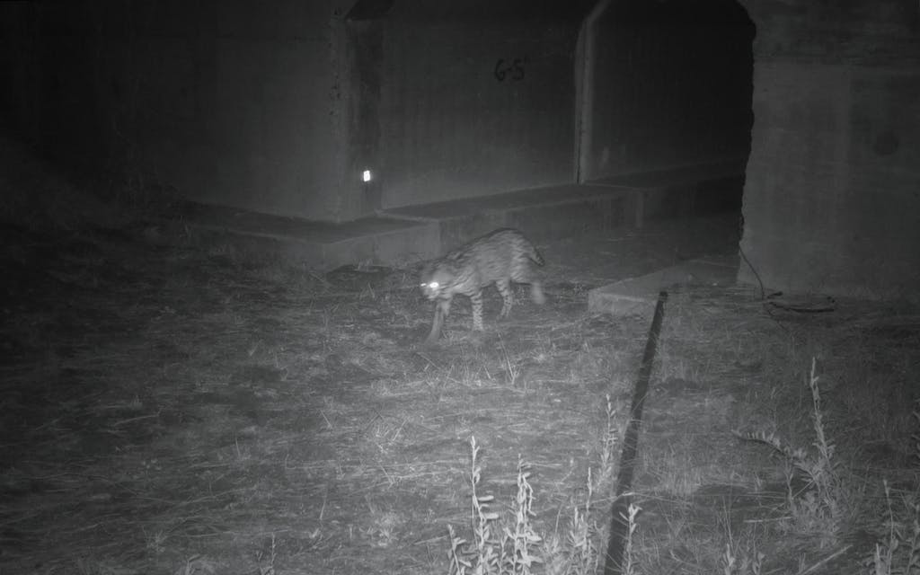 An ocelot emerges from the FM7 West tunnel at 7:03pm on February 18, 2021.
