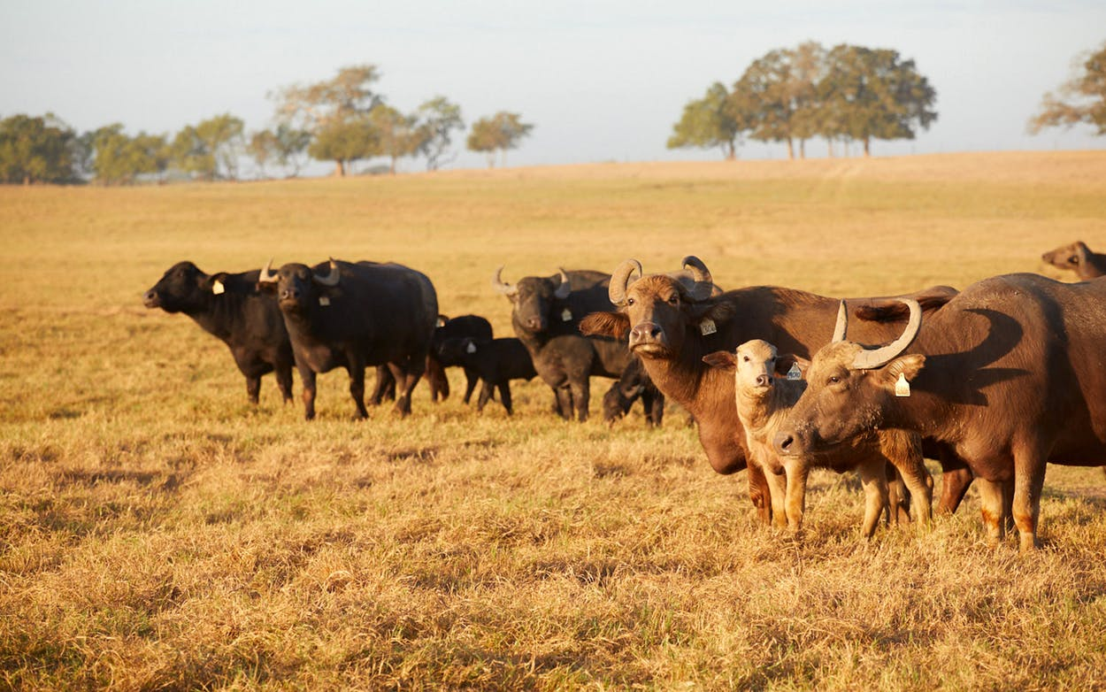 The herd of water buffalo at Oro Bianco.