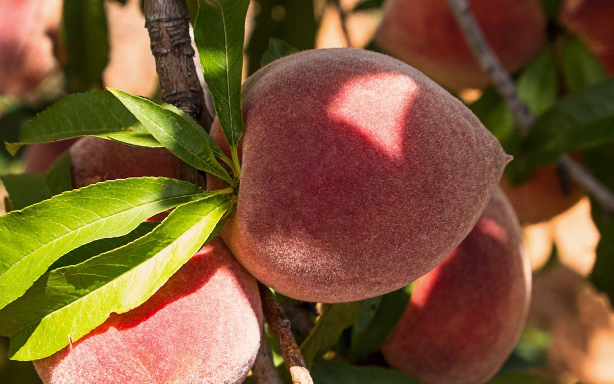 Fredericksburg Peaches.