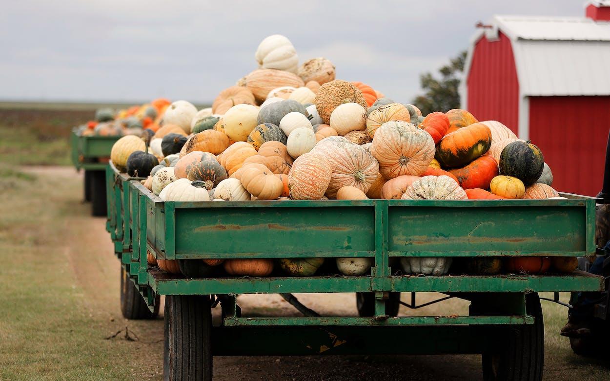 Pumpkin harvest in Texas
