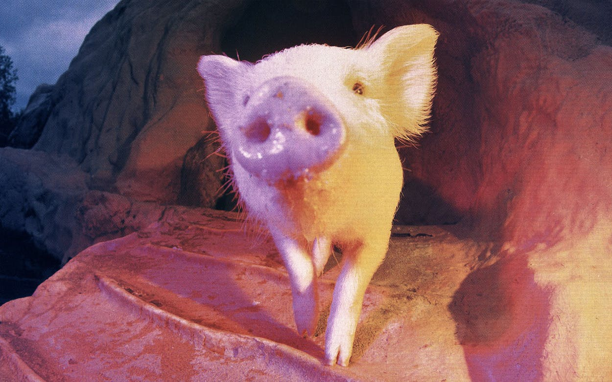 Animal Attractions Ralph the Swimming Pig
